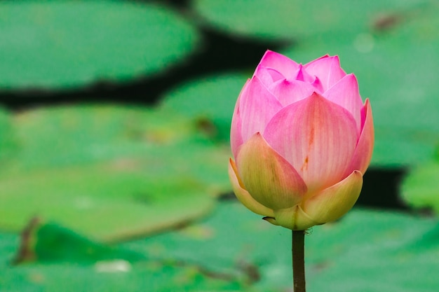 Lótus indiano, lótus sagrado, feijão da índia grande flor rosa com pétalas internas rosa escuro. a base da flor é branca.