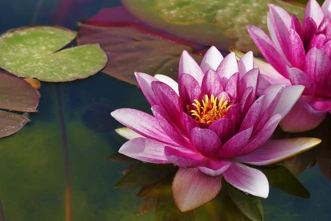 Lótus linda na lagoa