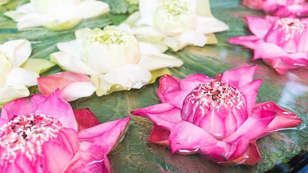 Lótus rosa e branco com folhas verdes