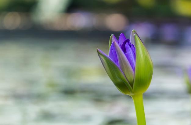 Lótus roxos como a faísca para o bokeh do fundo flores para a adoração do deus nos dias da religião.