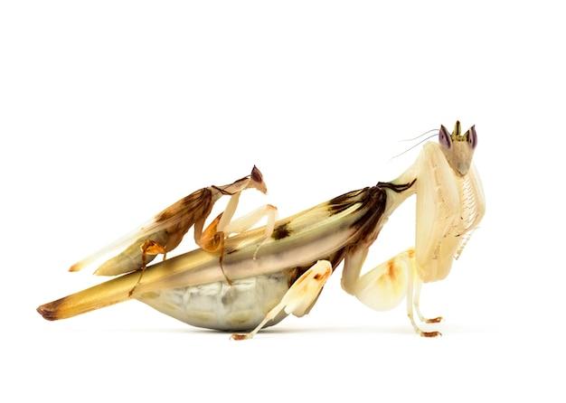 Louva-a-deus adulto macho e fêmea - hymenopus coronatus, isolado no branco