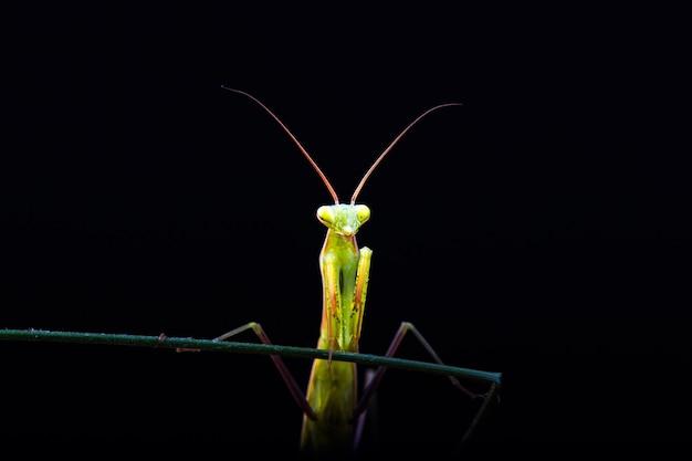 Louva-a-deus (mantis religiosa) em fundo preto
