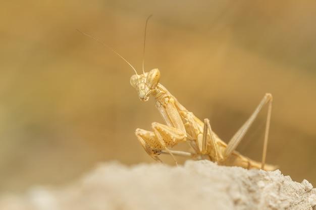 Louva-a-deus (mantis religiosa) sentado e caçando em uma rocha