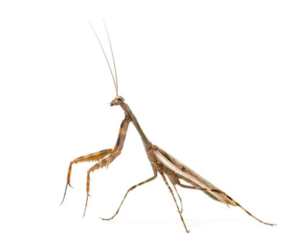 Louva-a-deus masculino - parasphendale affinis