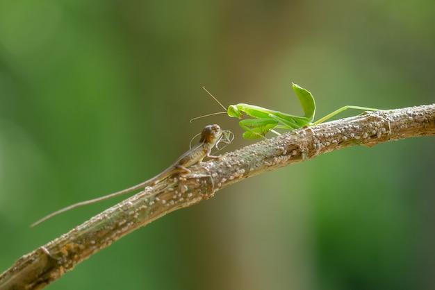 Louva-a-deus na árvore ramo