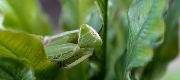 Louva-a-deus na folha verde. louva-a-deus africano, louva-a-deus africano gigante ou louva-a-deus do mato.