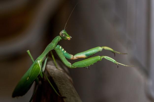 Louva-a-deus verde