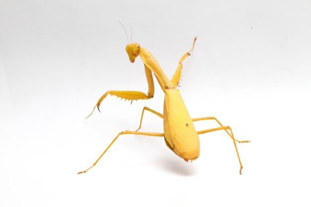 Louva-deus-asiático amarelo asiático gigante isolado