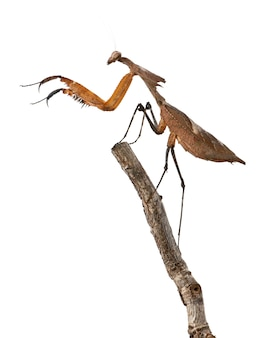 Louva-deus-gigante, deroplatys desiccata,