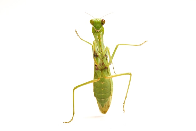 Louva-deus verde asiático gigante isolado