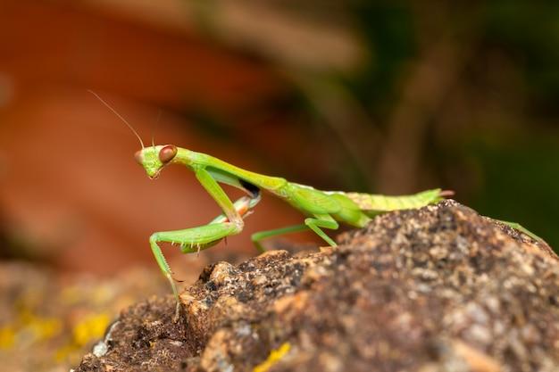 Louva-deus verde