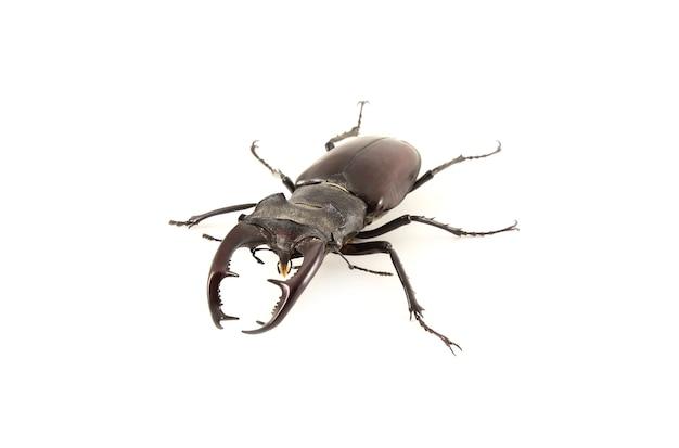 Lucanus cervus. besouro de veado em um fundo branco.