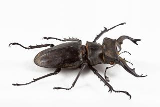 Lucanus formosanus perto besouro