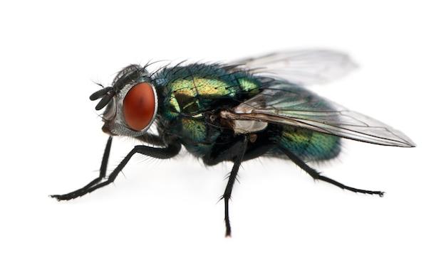 Lucilia caesar, mosca,
