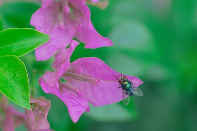 Lucilia sericata a mosca verde é uma moeda pertencente à família calliphoridae, amplamente distribuída em todo o mundo, principalmente