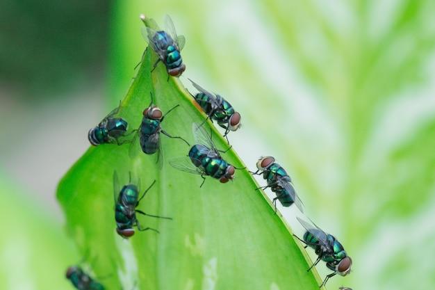 Lucilia sericata a mosca verde é uma moeda que pertence à família calliphoridae