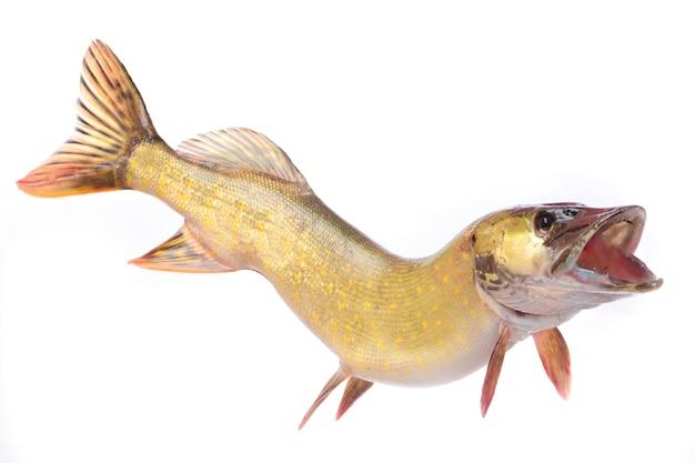 Lúcio de peixe isolado