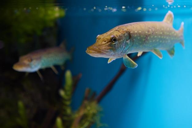 Lúcio do norte ou peixe esox lucius dentro do aquário público de são petersburgo, na rússia.