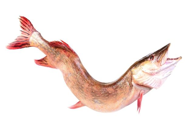 Lúcio predador de peixe