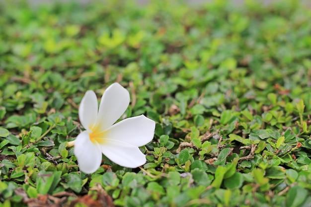 Lugar branco da flor do plumeria ou do frangipani na árvore da parede da decoração. conceito de spa.