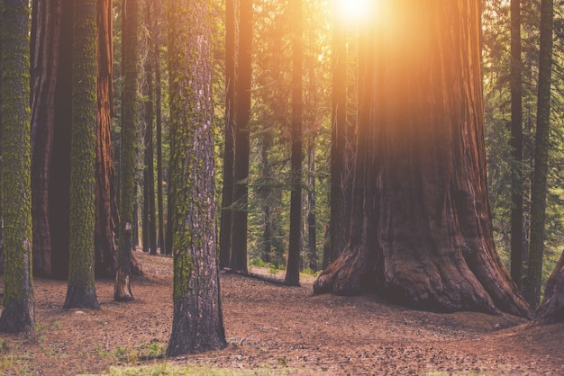 Lugar da floresta sequoia gigante