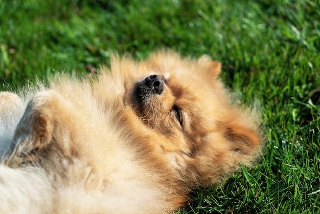 Lulu da pomerânia com pelo amarelo deitado na grama nas costas