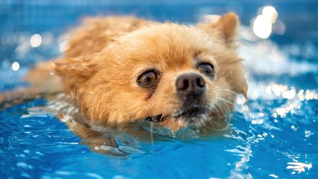 Lulu da pomerânia com pelo amarelo nadando em uma piscina