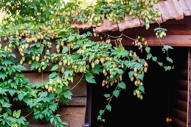 Lúpulos verdes que crescem no telhado de um celeiro velho no dia ensolarado. matérias primas para produção de cerveja