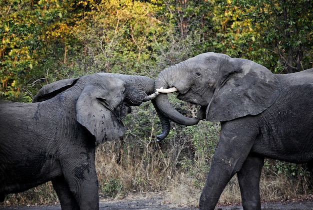 Luta de elefantes