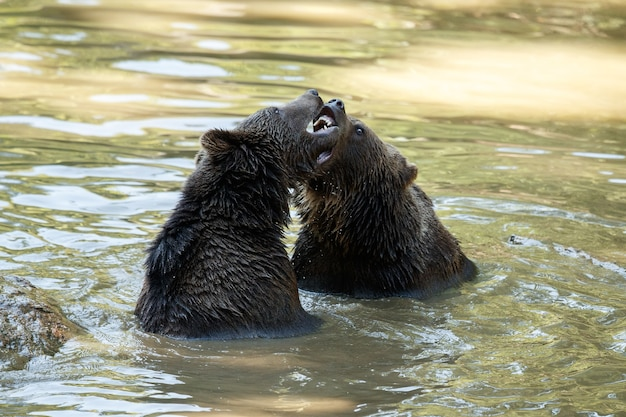 Luta de verão entre os irmãos ursos arctos ursos