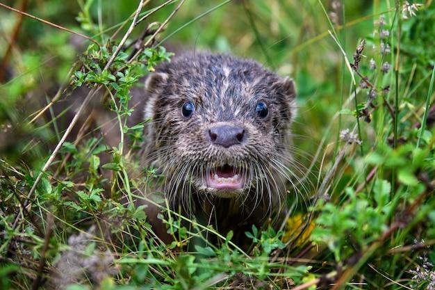 Lutra no habitat natural. retrato de predador de água. animal do rio na grama verde. cena da vida selvagem