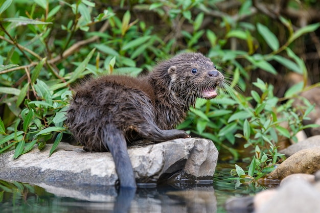 Lutra no habitat natural. retrato de predador de água