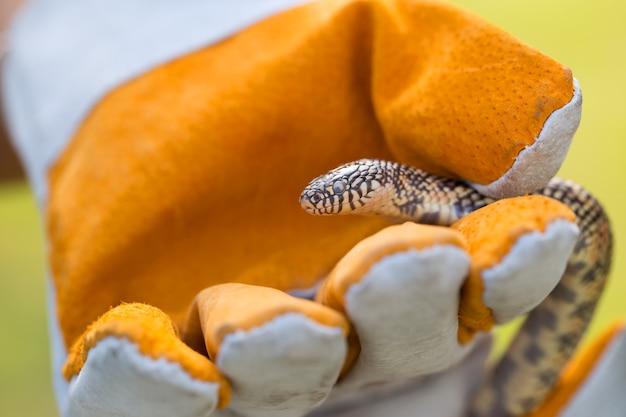 Luvas rei apanhador de cobras.