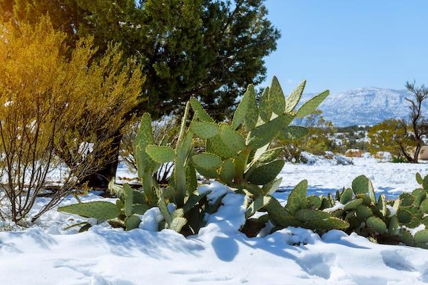 Luz da manhã em um cacto coberto de neve no arizona