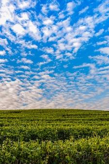 Luz da manhã na plantação de chá verde de choui fong, um dos belos pontos de turismo agrícola no distrito de mae chan