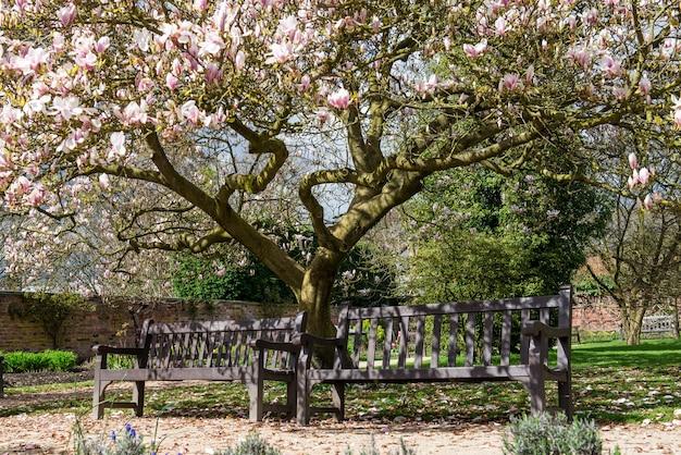 Luz-de-rosa magnólia no jardim inglês