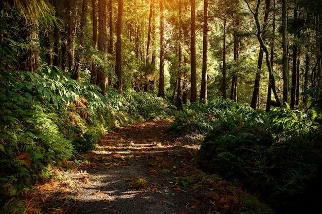 Luz do amanhecer da floresta mágica.