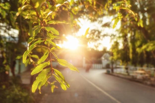 Luz do sol através da folhagem verde com ramo pendurado ao pôr do sol