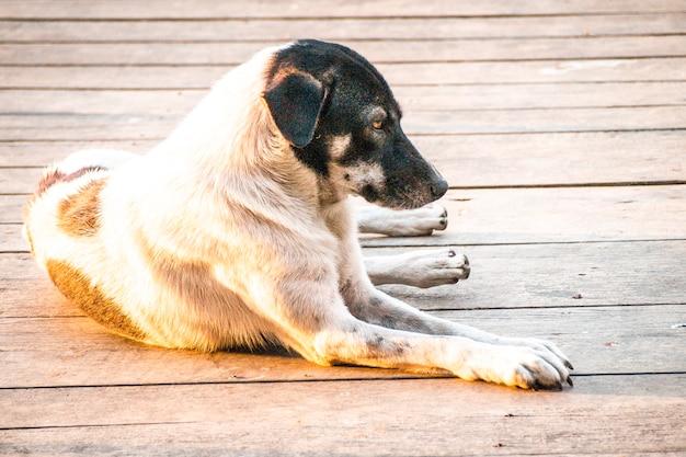 Luz do sol através de cachorro vadio preto e branco ou cachorro de fazenda deitado na ponte