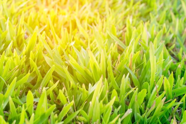 Luz do sol na textura de fundo de grama verde