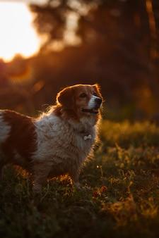 Luz dourada do por do sol e pouco cão branco e marrom
