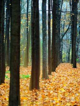 Luz dramática no fundo da paisagem da floresta do outono
