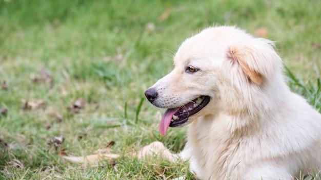 Luz marrom cachorro sentado em uma grama.