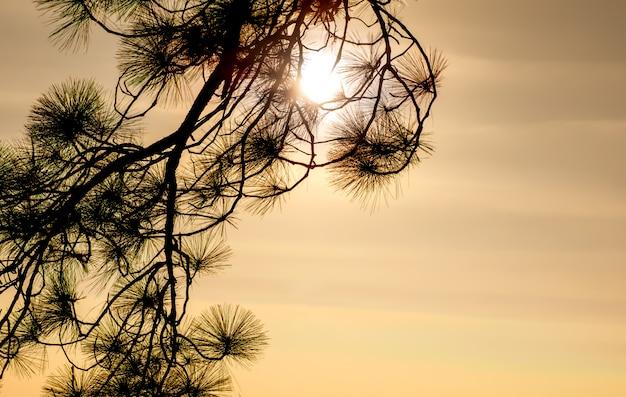 Luz solar atrás do ramo de pinheiro em dia de sol