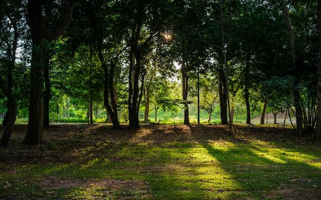 Luz solar dourada antes do sol derramando através de árvores no chão da floresta