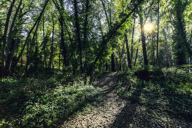 Luz solar que brilha através dos galhos das árvores
