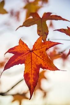 Luz traseira da folha de bordo. fofo pastel da árvore de bordo japonês deixa o fundo colorido no outono