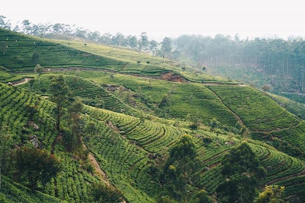 Luzes da manhã em uma plantação de chá no sri lanka