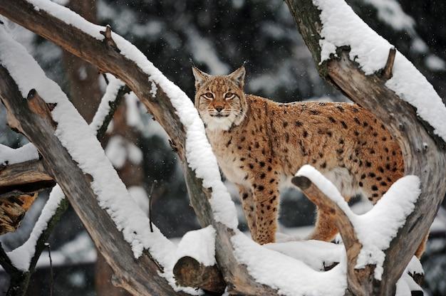 Lynx no inverno