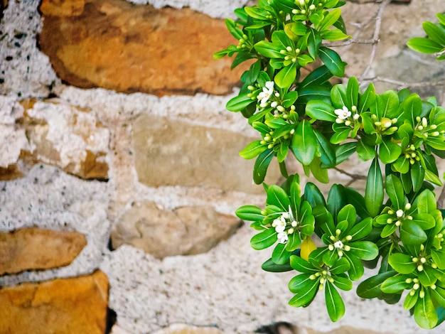 Lysimachia candida, pequenas flores silvestres brancas.